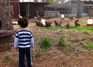Checkin' Out the Chickens at Springdale Farm